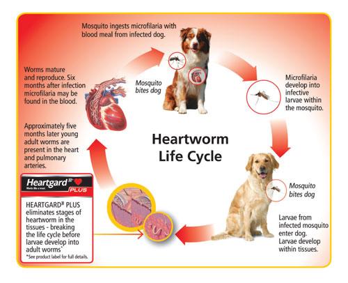 Heartworm vector
